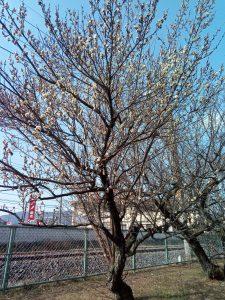 梅の早咲き